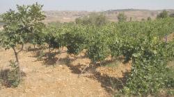 Limestone rich Cabernet Sauvignon vineyards in Bhamdoun.