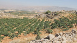 Old Vine Cabernet Sauvignon at Kefraya. Bekaa Valley in the mid distance. Syria beyond the peaks.